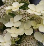 Rispenhortensie Bombshell 40-60cm - Hydrangea paniculata