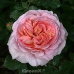 Englische Rose Auscot 30-60cm