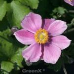 Japanische Herbstanemone Little Princess - großer Topf - Anemone japonica