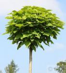 Hochstamm Trompetenbaum 100-125cm - Catalpa bignonioides