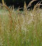 Silberährengras Allgäu - Achnatherum calamagrostis