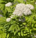 Großblättrige Wucherblume - Tanacetum macrophyllum