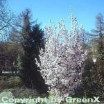 Hochstamm Zwerg Zierkirsche Ruby 80-100cm - Prunus kurilensis