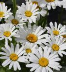 Wiesen Margerite Ohh La Lagrande - großer Topf - Leucanthemum maximum
