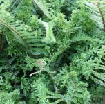 Krauser Wurmfarn Cristata - Dryopteris affinis