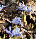 Winteriris Alida - Iris reticulata