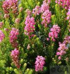 10x Siebenbürgerheide Manja - Erica spiculifolia