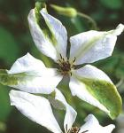 Robuste Waldrebe Alba Luxurians 40-60cm - Clematis viticella