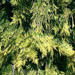 Lebensbaum Zebrina Extra Gold 80-100cm - Thuja plicata