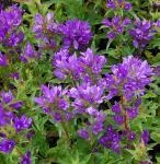 Knäulglockenblume Acaulis - Campanula glomerata