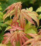 Fächerahorn Orange Dream 40-60cm - Acer palmatum