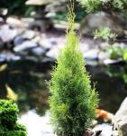 Lebensbaum Dark Embers® 100-125cm - Thuja occidentalis
