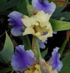Schwertlilie Edith Wolford - Iris barbata