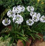 Liebesblume Schmucklilie Ice Lolly - Agapanthus africanus