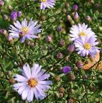 Herbstwild Aster Blauschleier - Aster laevis