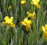 Zwergschwertlilie Gleaming Gold - Iris barbata nana