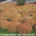 10x Besenheide Boskoop - Calluna vulgaris