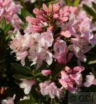 Kleinblütiger Rhododendron Bloombux® 15-20cm - Rhododendron micranthum
