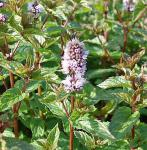 Pfefferminze May - Mentha piperita