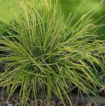 Steife Segge Bowles Golden - Carex elata