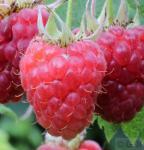 Himbeere Rubaca - Rubus idaeus