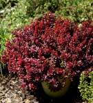 Berberis Lutin Rouge® 15-20cm - Berberis thunbergii