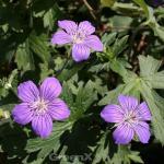 Sibirischer Storchschnabel - Geranium wlassovianum