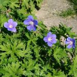 Storchenschnabel Blue Sunrise - Geranium wallichianum