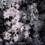 Japanische Azalee Marias Choice 20-25cm - Rhododendron obtusum - Zwerg Alpenrose