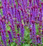 Ziersalbei Negrito - Salvia nemorosa