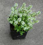 Zitronenquendel Albus - Thymus serpyllum