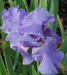 Schwertlilie Sea Double - Iris barbata
