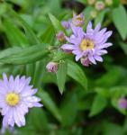 Glattblattaster Blaue Nachhut - Aster novi belgii