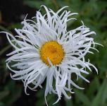 Gartenmargerite Old Court - Leucanthemum superbum