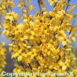 Hochstamm Forsythie Minigold 100-125cm - Forsythia intermedia