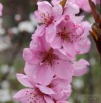Zierpfirsich Spring Glow 60-80cm - Prunus persica
