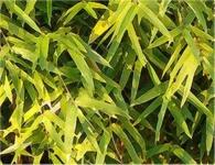 Gelber Gartenbambus 125-150cm - Phyllostachys aurea