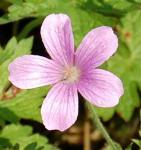 Storchenschnabel Betty Catchpole - Geranium oxonianum