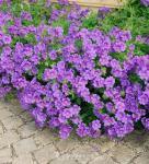Pracht Storchschnabel Anemoniflorum - Geranium magnificum