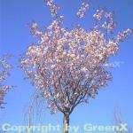 Kleinblütige Frühlingszierkirsche 60-80cm - Prunus Pandora