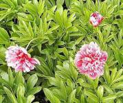 Pfingstrose Rosea Plena - Paeonia officinalis