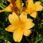 Taglilie Bitsy - Hemerocallis cultorum