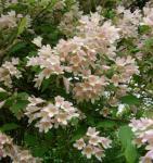 Perlmuttstrauch Kolkwitzie Maradco 100-125cm - Kolkwitzia amabilis