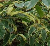 Portugiesischer Kirschlorbeer Variegata 80-100cm - Prunus lusitanica