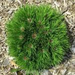 Zwergfichte Schmidt 10-15cm - Pinus leucodermis