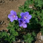 Storchenschnabel Havanna Blues - Geranium wallichianum