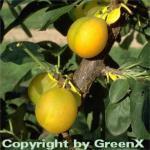 Pflaume Ontariopflaume 60-80cm - Prunus domestica