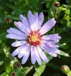 Schleieraster Blütenregen - Aster cordifolius