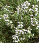 Echter Thymian Pinewood - Thymus vulgaris