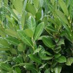 Kirschlorbeer Arktis® 100-125cm - Prunus laurocerasus